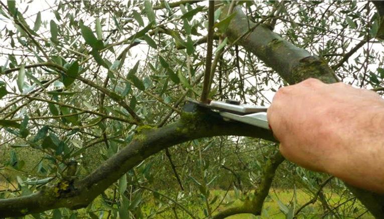 Calabria: corso gestione della chioma dell'oliveto a Lamezia Terme e Castrovillari