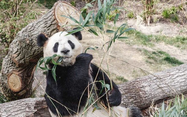 Panda fugge dal recinto allo zoo di Copenaghen, catturato dopo aver vagato nel parco