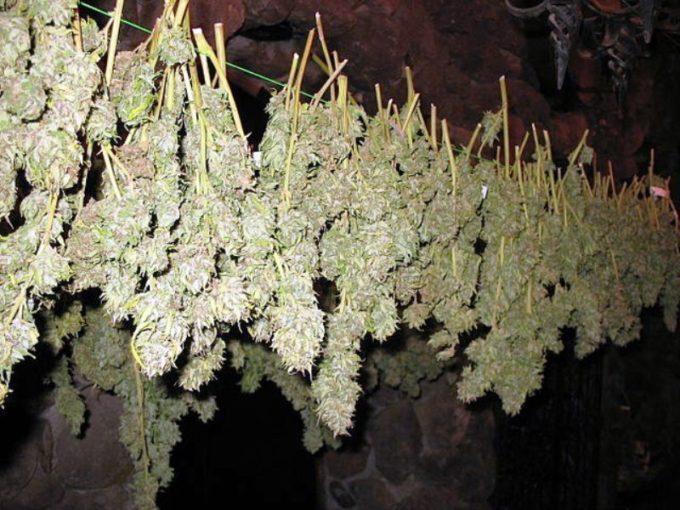 Gioia Tauro: scoperto dai Carabinieri un grande capannone con 7.000 piante di marijuana