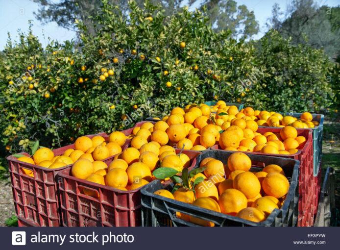 Coldiretti Calabria: a rischio l'avvio della stagione agrumicola per mancanza di manodopera