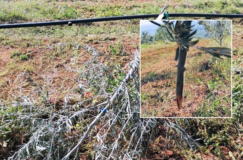Coldiretti Calabria: giovedì 27 insieme all'Azienda Marchesi Gallo di Castrovillari per ripiantare 200 piante di ulivo distrutte